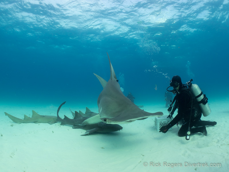 Diving With Great Hammerheads, Bimini, Bahamas.